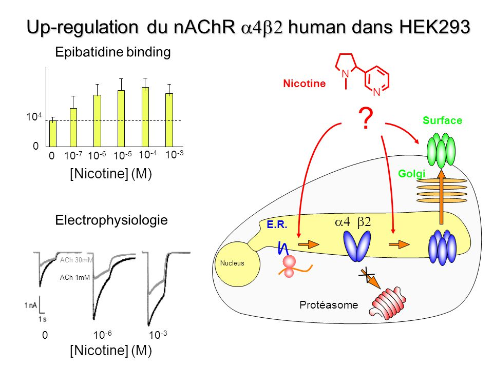 Up-regulation du nAChR a4b2 human dans HEK293
