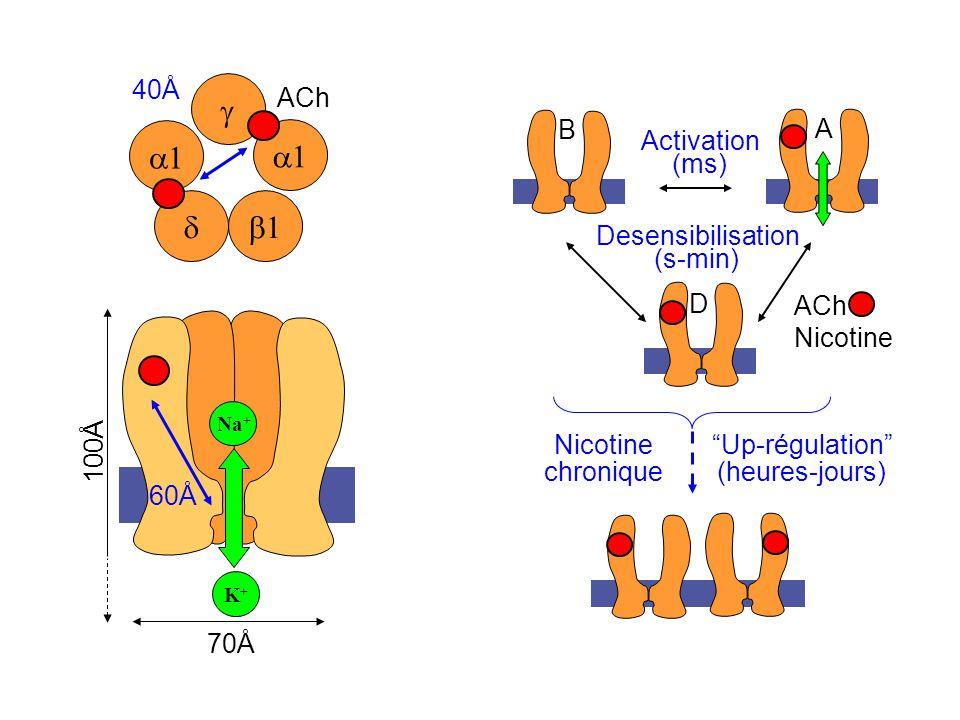 g a1 d b1 ACh Nicotine Activation (ms) Desensibilisation (s-min) B A D
