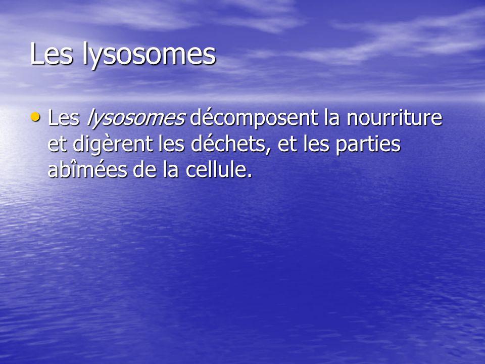 Les lysosomes Les lysosomes décomposent la nourriture et digèrent les déchets, et les parties abîmées de la cellule.
