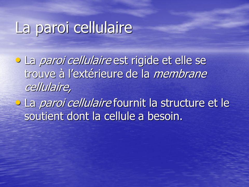 La paroi cellulaire La paroi cellulaire est rigide et elle se trouve à l'extérieure de la membrane cellulaire,