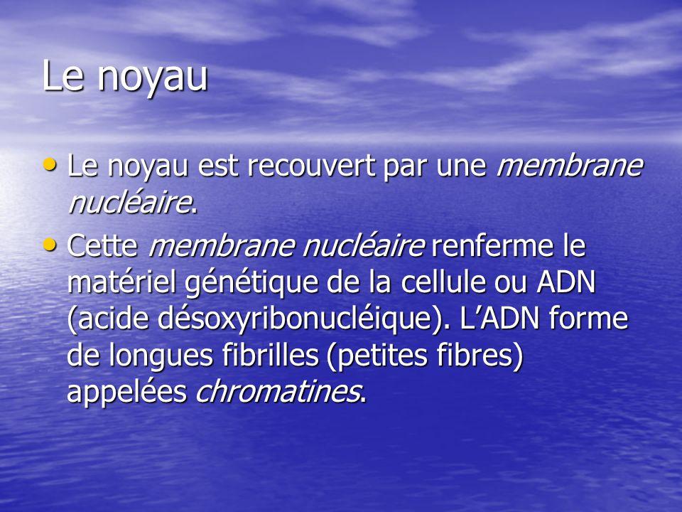 Le noyau Le noyau est recouvert par une membrane nucléaire.