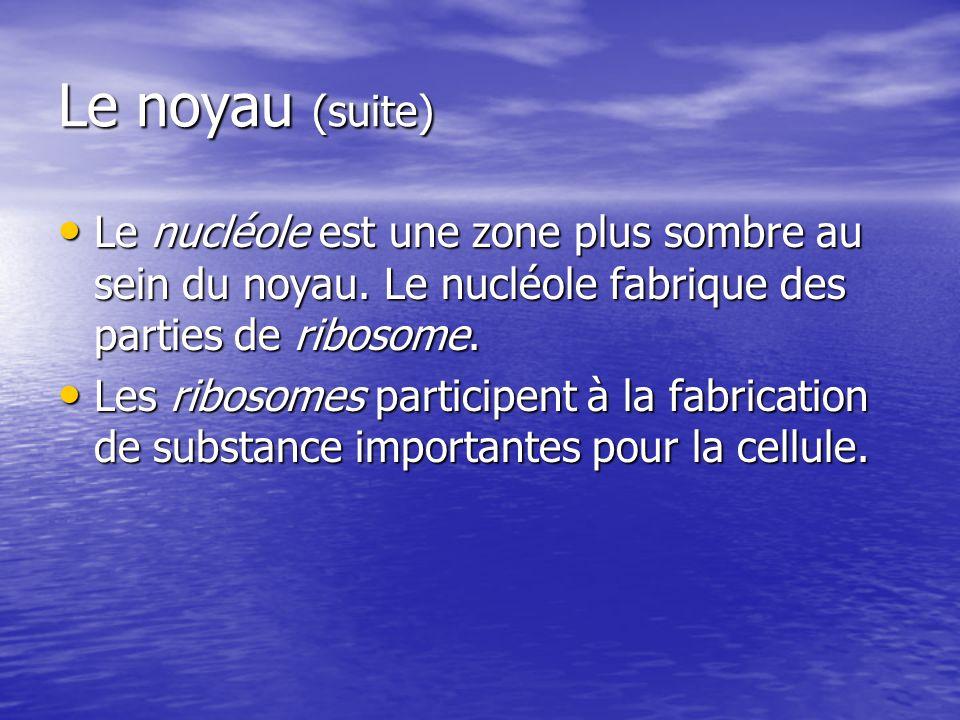 Le noyau (suite) Le nucléole est une zone plus sombre au sein du noyau. Le nucléole fabrique des parties de ribosome.