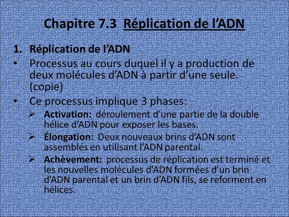 Chapitre 7.3 Réplication de l'ADN
