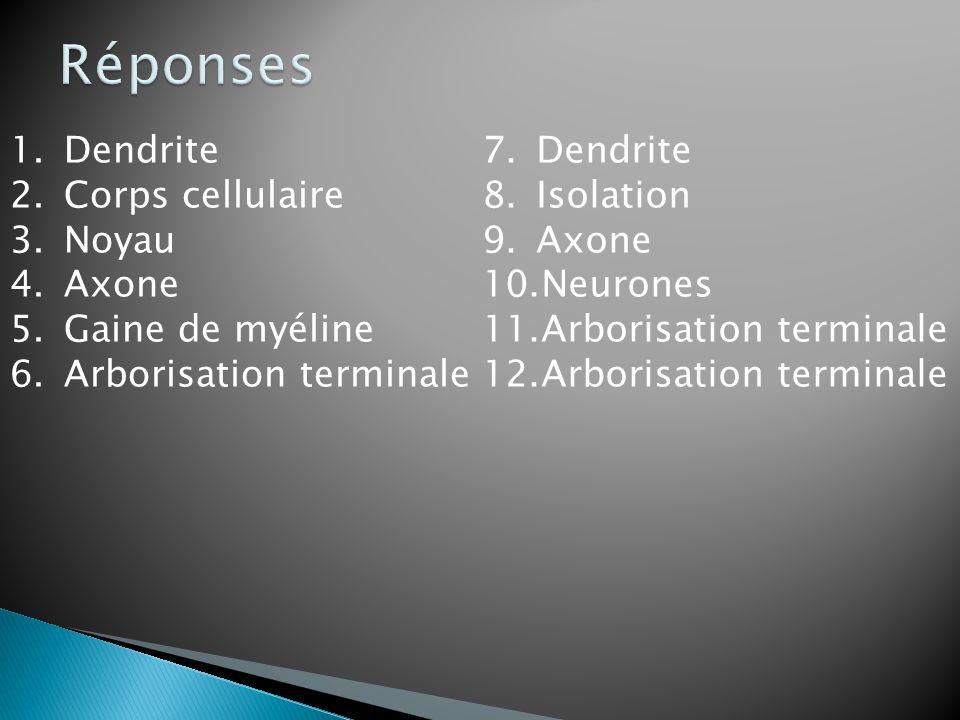 Réponses Dendrite Corps cellulaire Noyau Axone Gaine de myéline