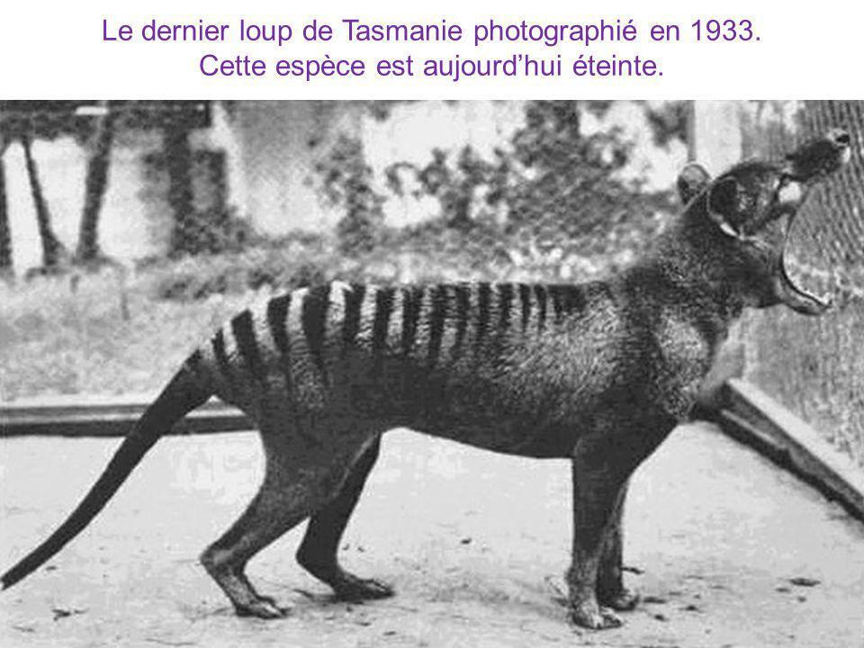 Le dernier loup de Tasmanie photographié en 1933.