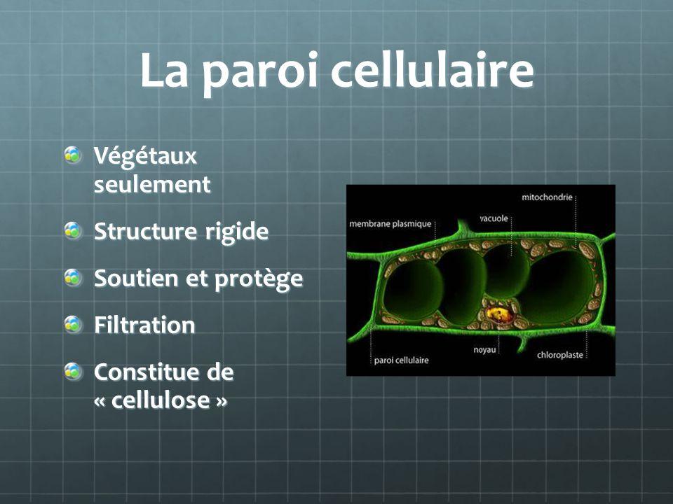 La paroi cellulaire Végétaux seulement Structure rigide