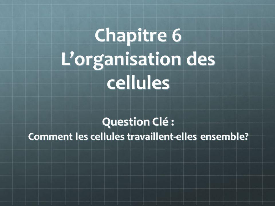 Chapitre 6 L'organisation des cellules