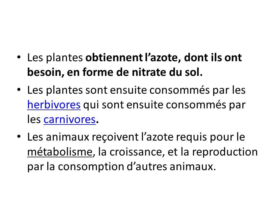 Les plantes obtiennent l'azote, dont ils ont besoin, en forme de nitrate du sol.