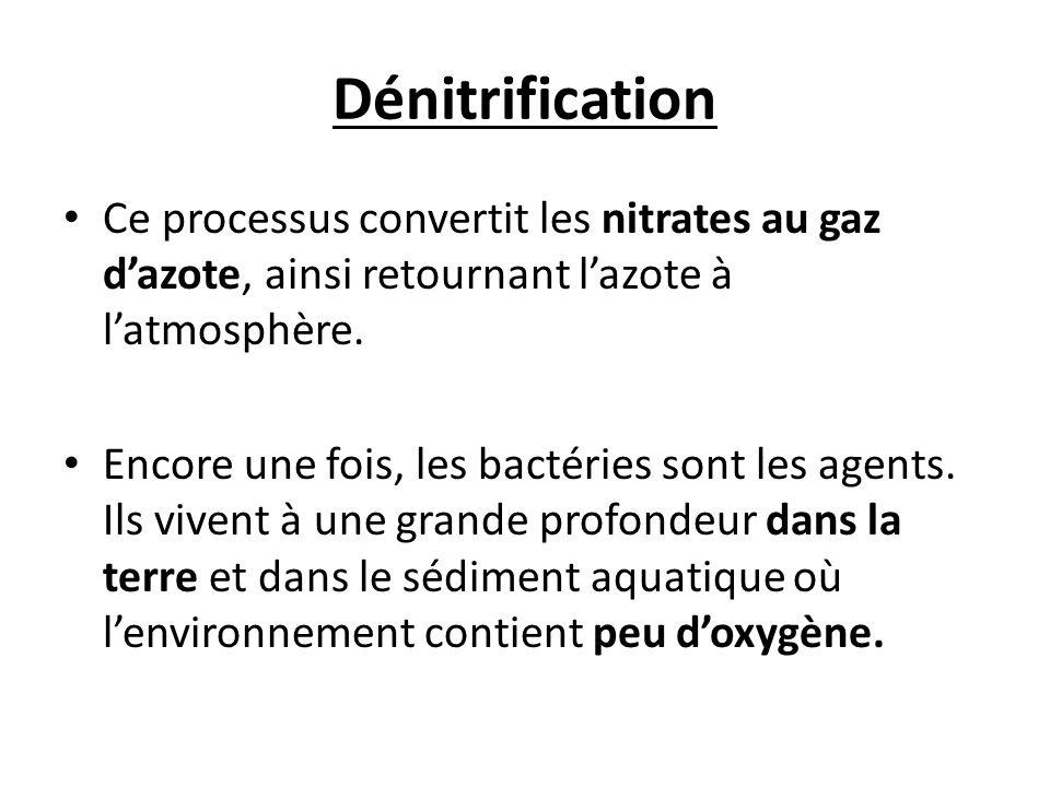 Dénitrification Ce processus convertit les nitrates au gaz d'azote, ainsi retournant l'azote à l'atmosphère.