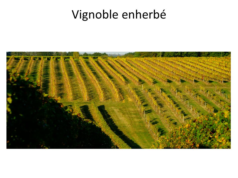 Vignoble enherbé