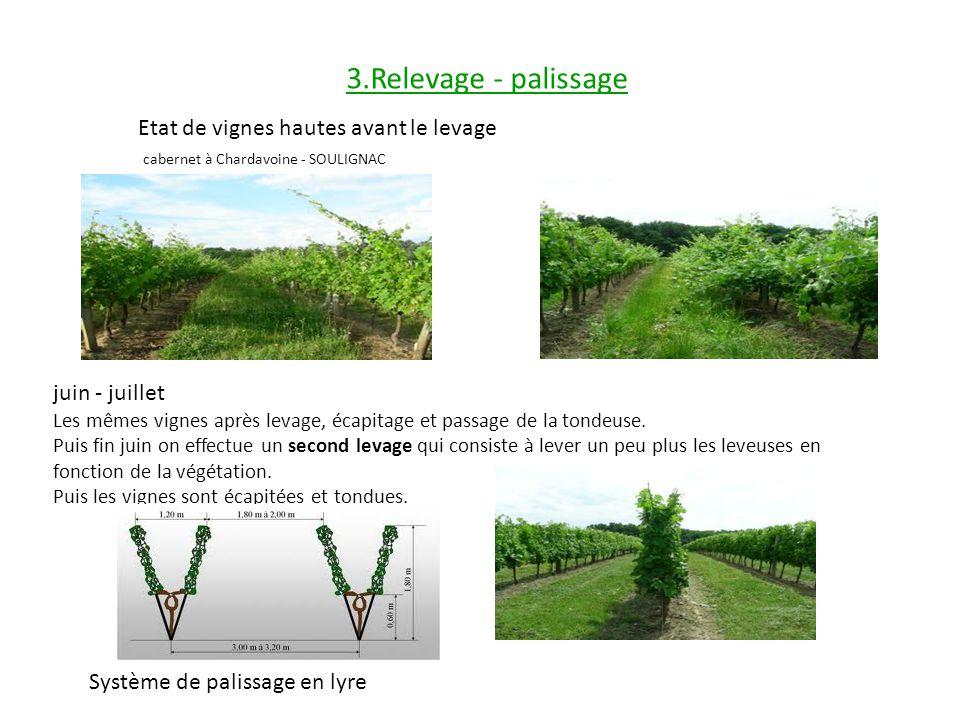 3.Relevage - palissage Etat de vignes hautes avant le levage