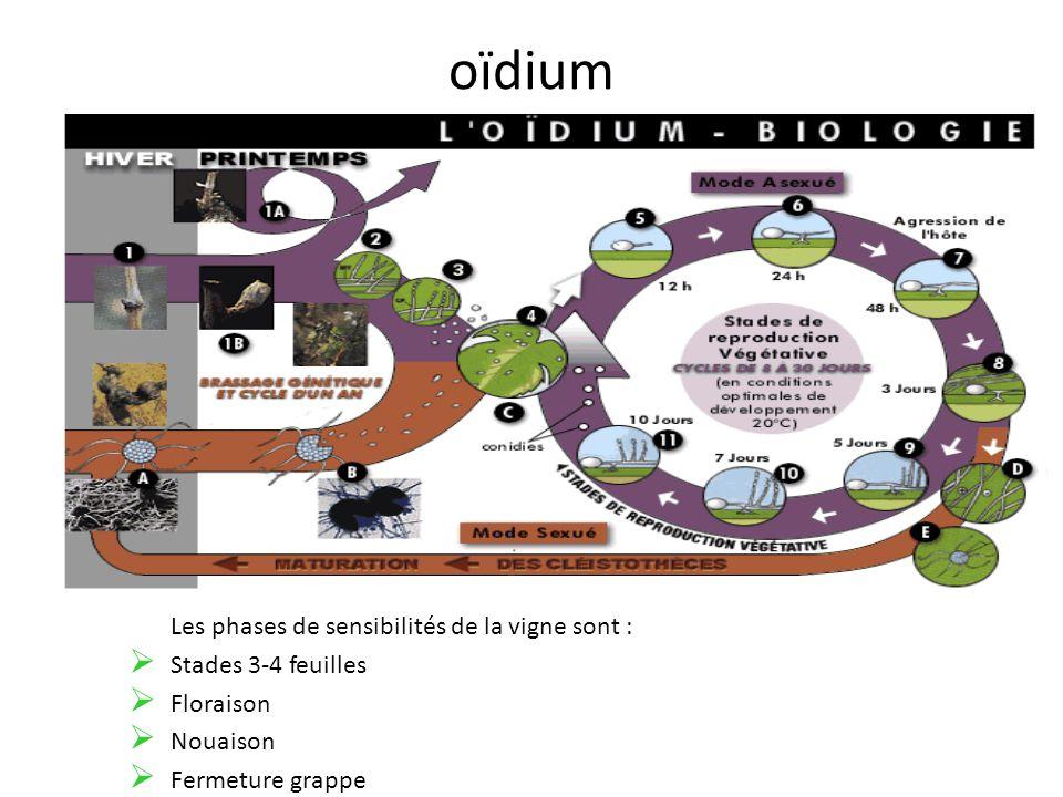 oïdium Les phases de sensibilités de la vigne sont :