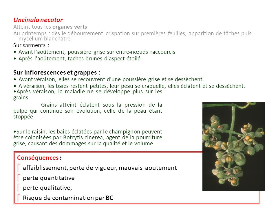 Sur inflorescences et grappes :