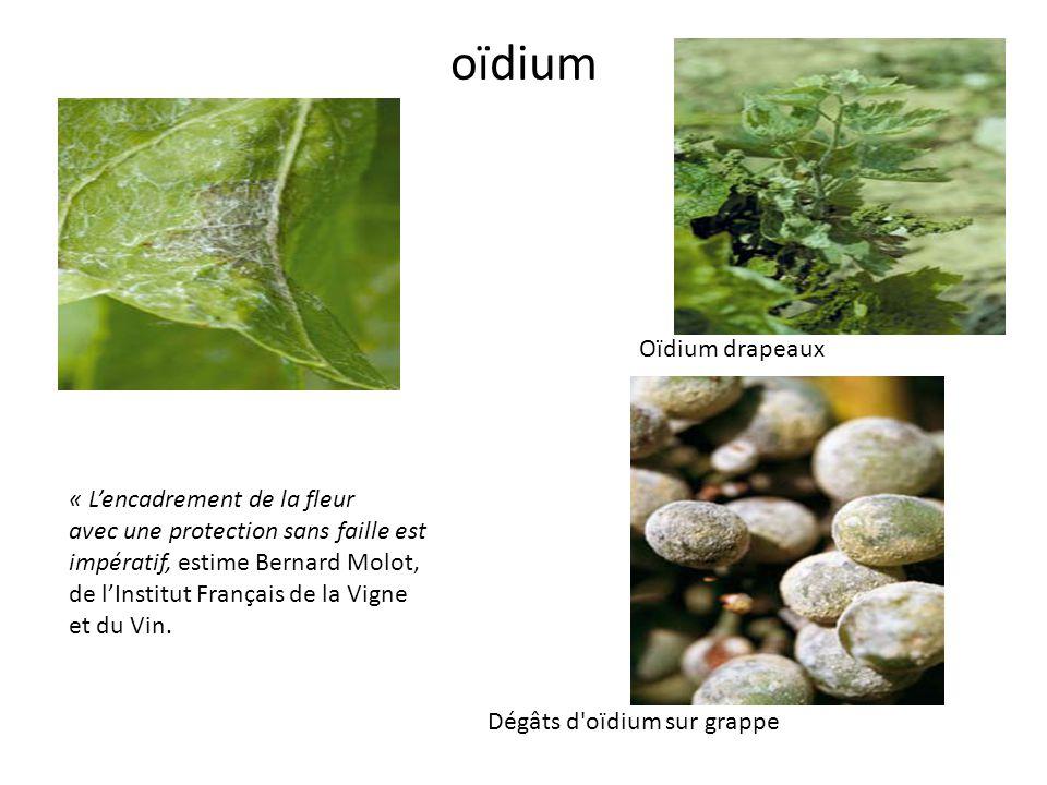 oïdium Oïdium drapeaux « L'encadrement de la fleur