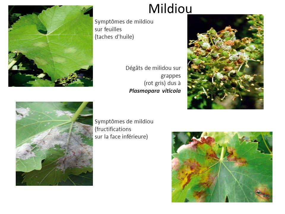 Mildiou Symptômes de mildiou sur feuilles (taches d huile)