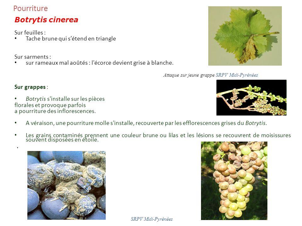 Pourriture Botrytis cinerea Sur feuilles :