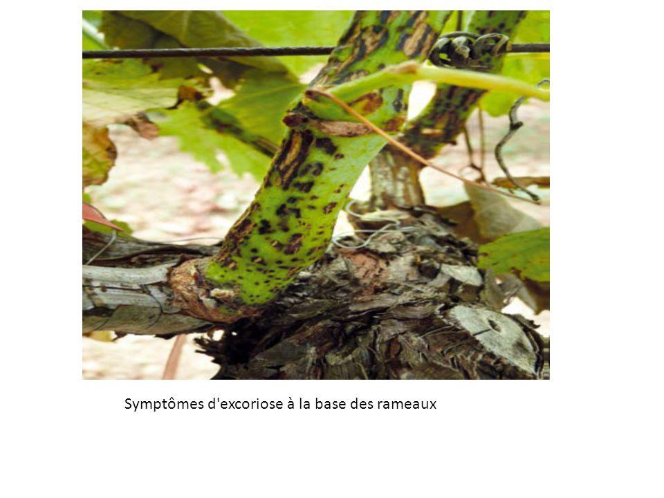 Symptômes d excoriose à la base des rameaux