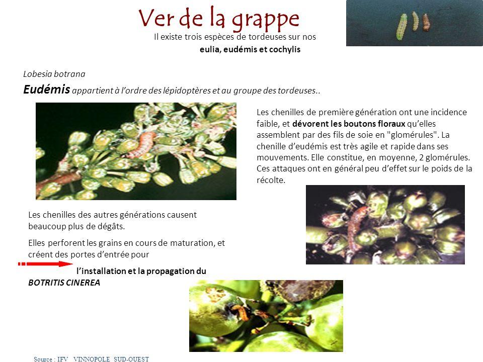 eulia, eudémis et cochylis