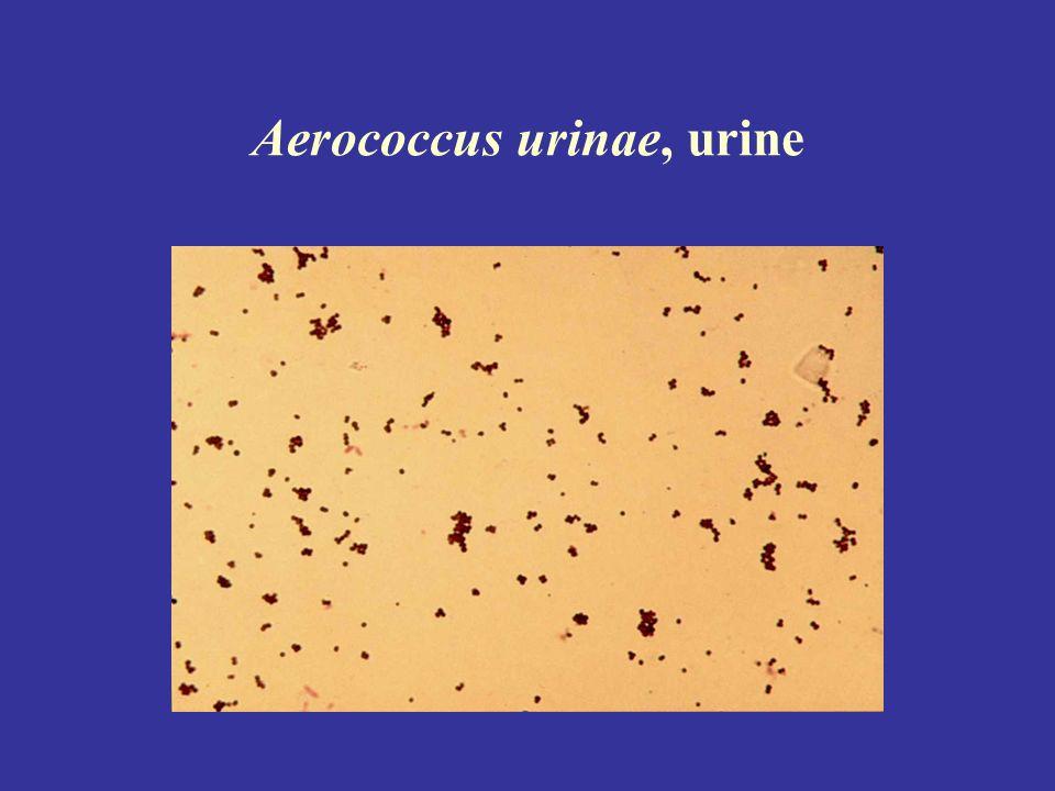 Aerococcus urinae, urine