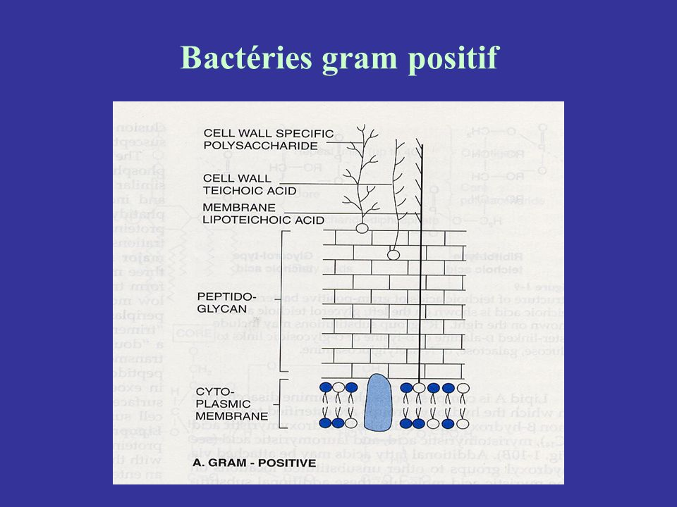Bactéries gram positif