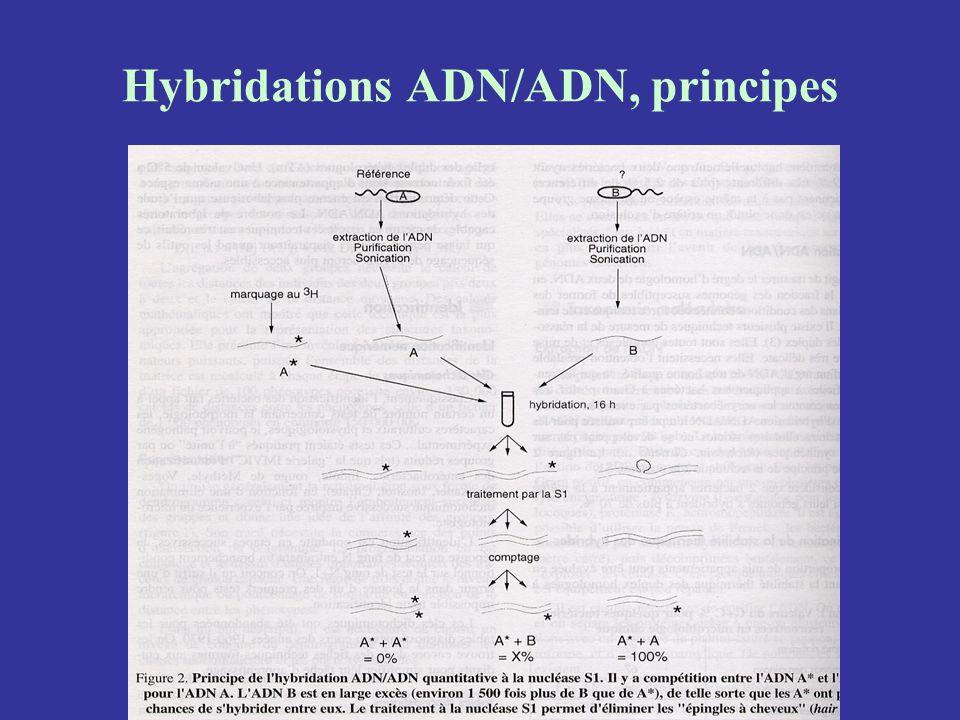 Hybridations ADN/ADN, principes