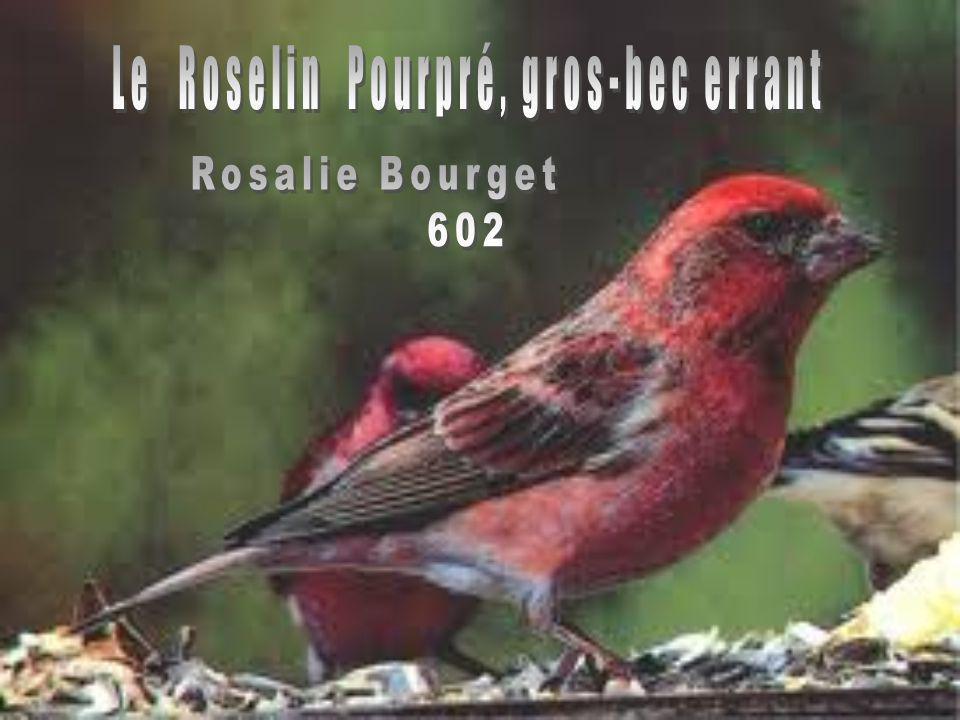 Le Roselin Pourpré, gros-bec errant