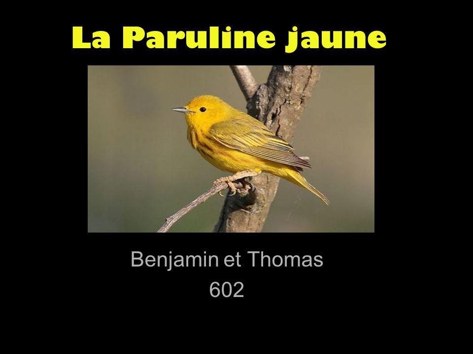 La Paruline jaune Benjamin et Thomas 602