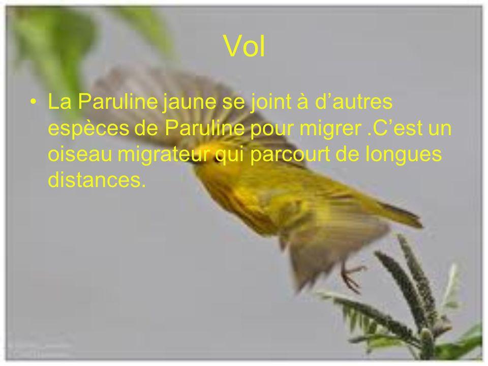 Vol La Paruline jaune se joint à d'autres espèces de Paruline pour migrer .C'est un oiseau migrateur qui parcourt de longues distances.