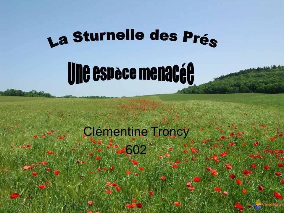 La Sturnelle des Prés Une espèce menacée Clémentine Troncy 602