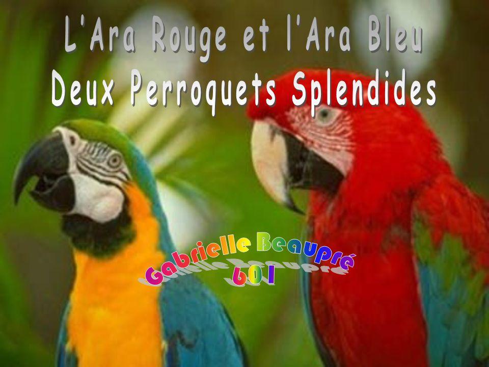 L'Ara Rouge et l'Ara Bleu Deux Perroquets Splendides