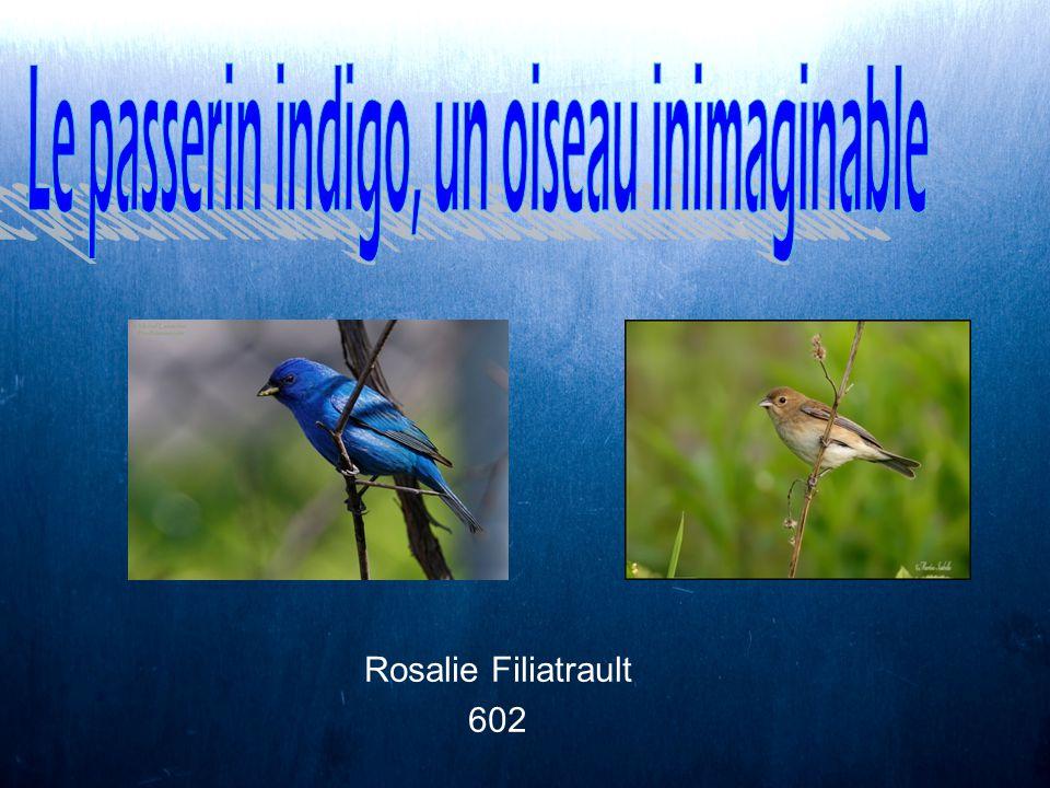 Le passerin indigo, un oiseau inimaginable