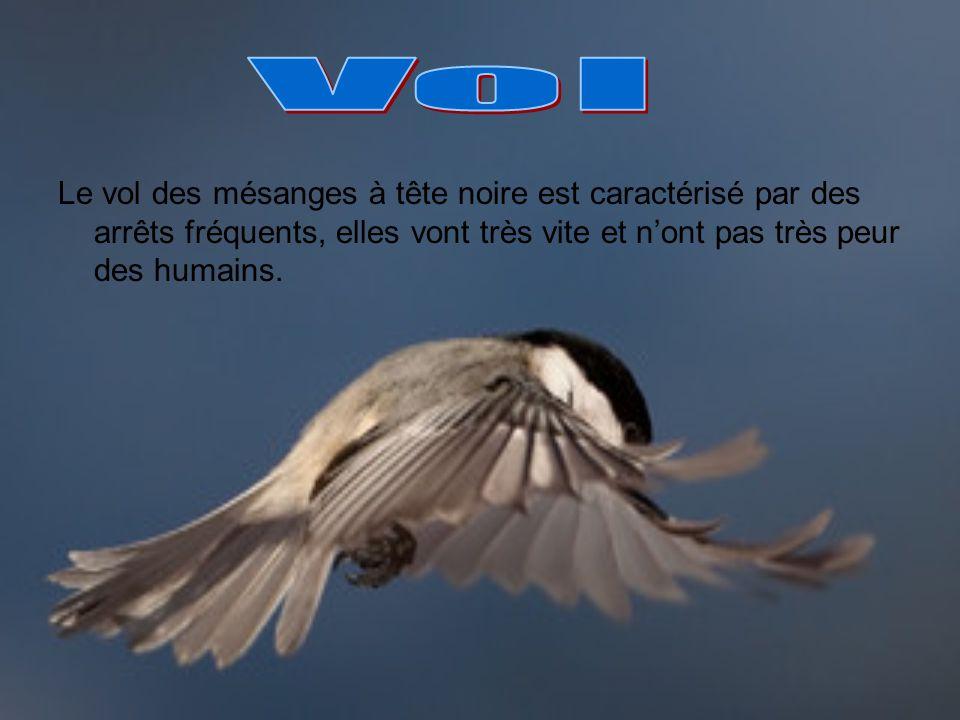 Vol Le vol des mésanges à tête noire est caractérisé par des arrêts fréquents, elles vont très vite et n'ont pas très peur des humains.