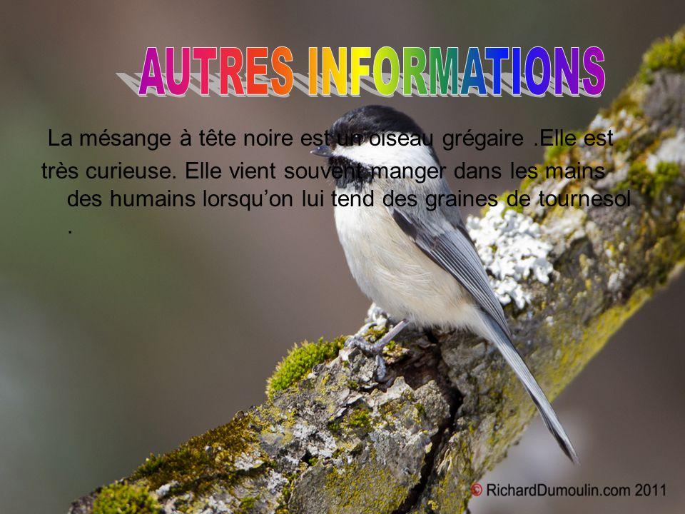 AUTRES INFORMATIONS La mésange à tête noire est un oiseau grégaire .Elle est.