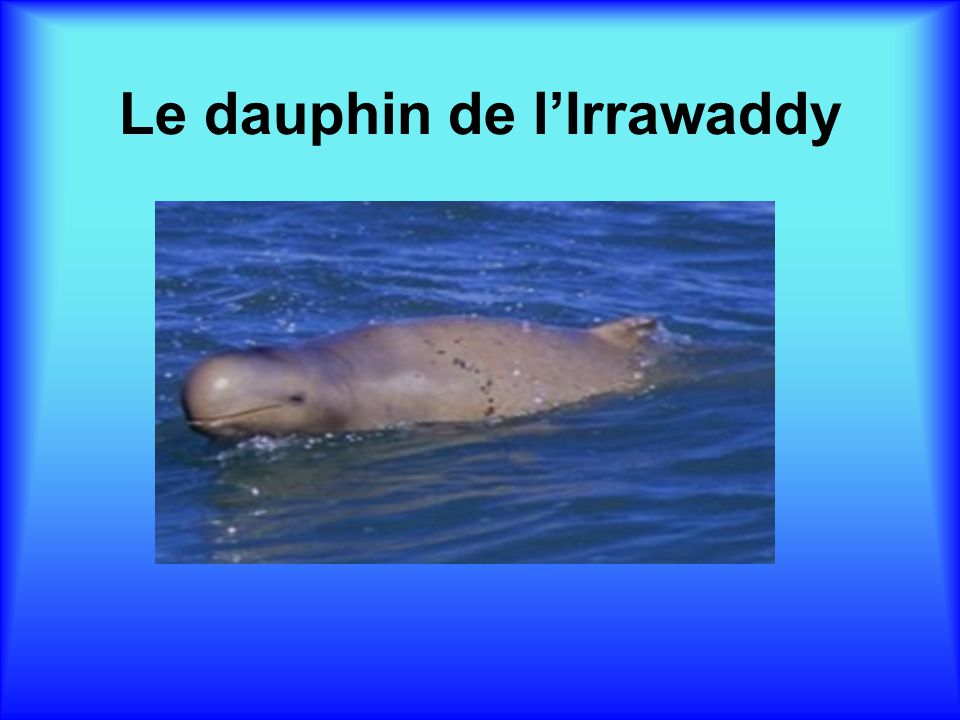 Le dauphin de l'Irrawaddy