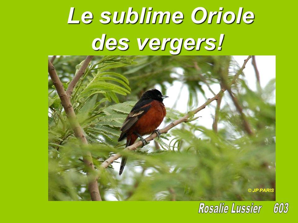 Le sublime Oriole des vergers!