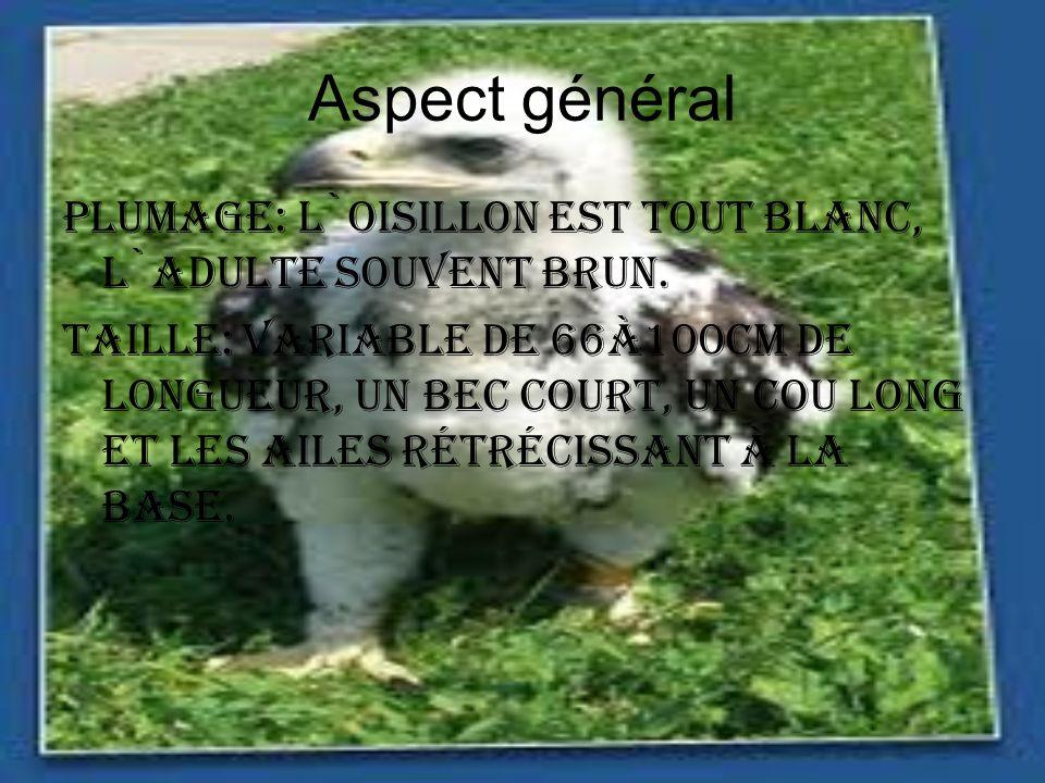 Aspect général Plumage: L`oisillon est tout blanc, l`adulte souvent brun.