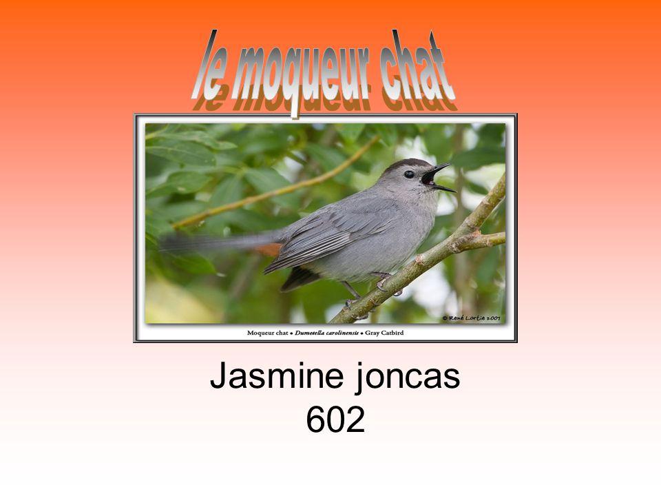le moqueur chat Jasmine joncas 602