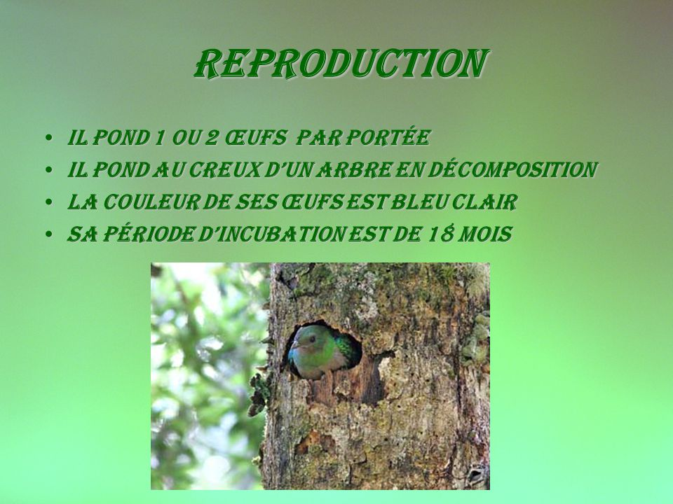 reproduction il pond 1 ou 2 œufs par portée