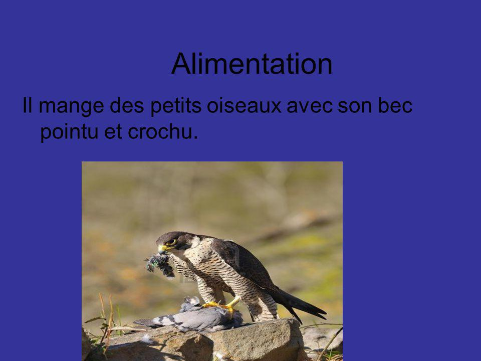 Alimentation Il mange des petits oiseaux avec son bec pointu et crochu.