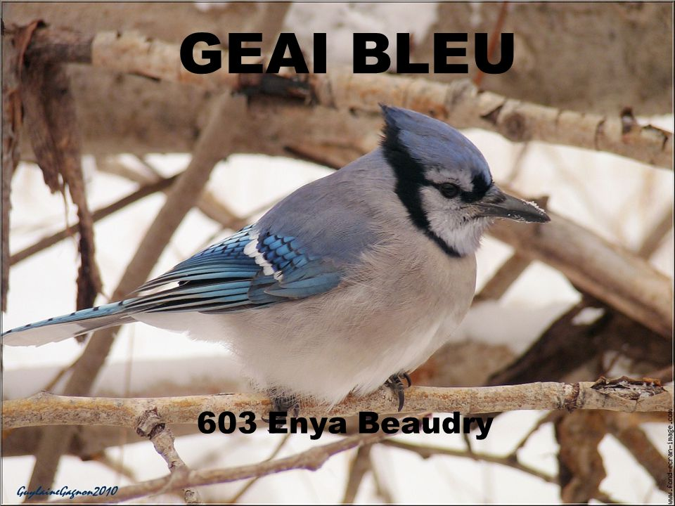 GEAI BLEU 603 Enya Beaudry