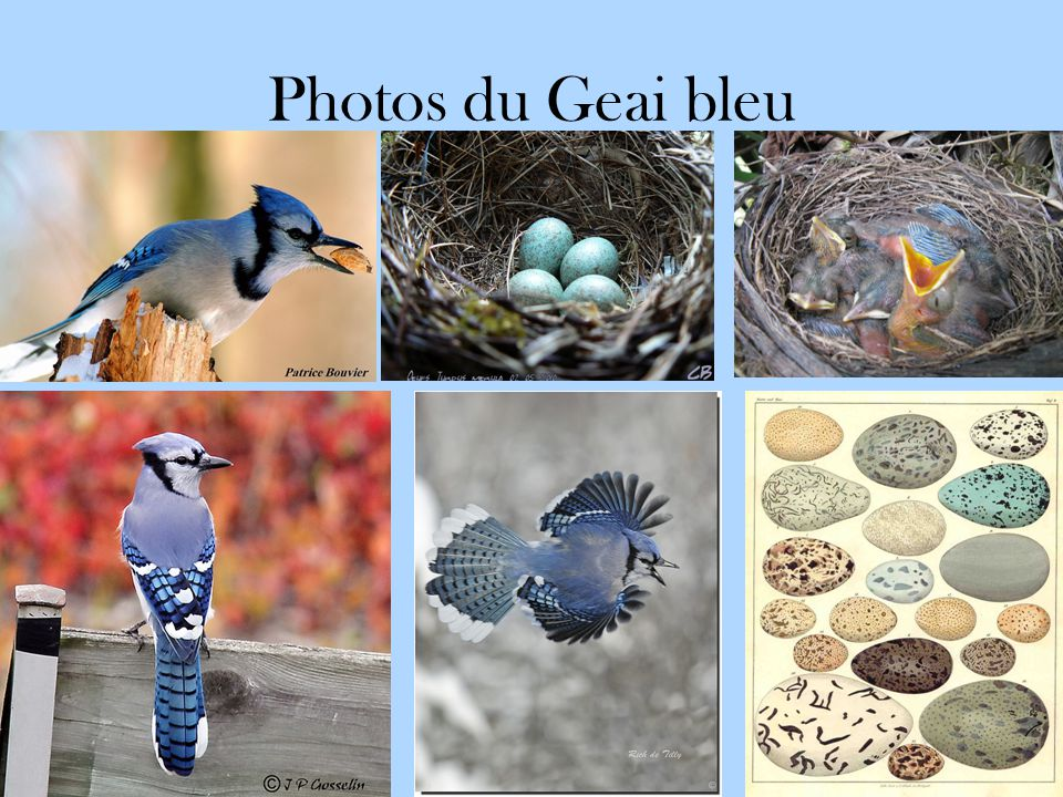 Photos du Geai bleu