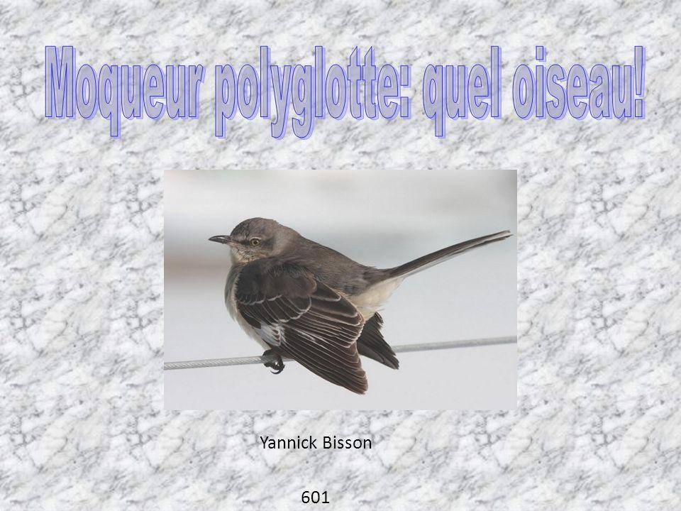Moqueur polyglotte: quel oiseau!