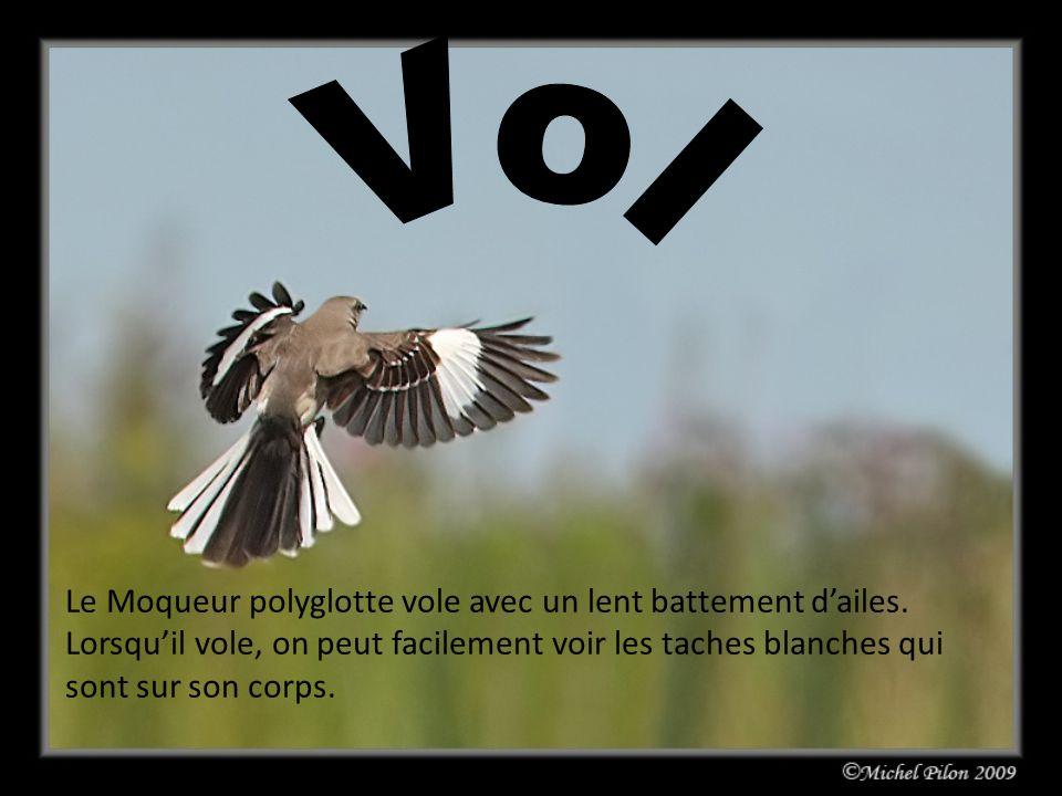 Vol Le Moqueur polyglotte vole avec un lent battement d'ailes.