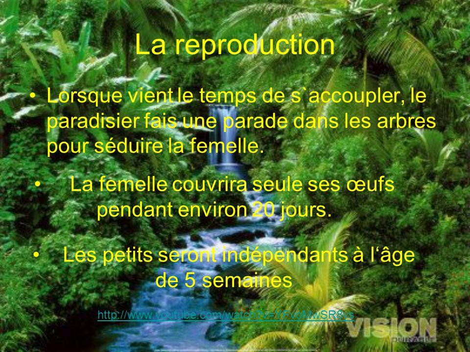 La reproduction Lorsque vient le temps de s`accoupler, le paradisier fais une parade dans les arbres pour séduire la femelle.