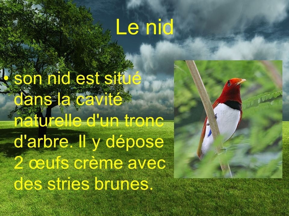 Le nid son nid est situé dans la cavité naturelle d un tronc d arbre.