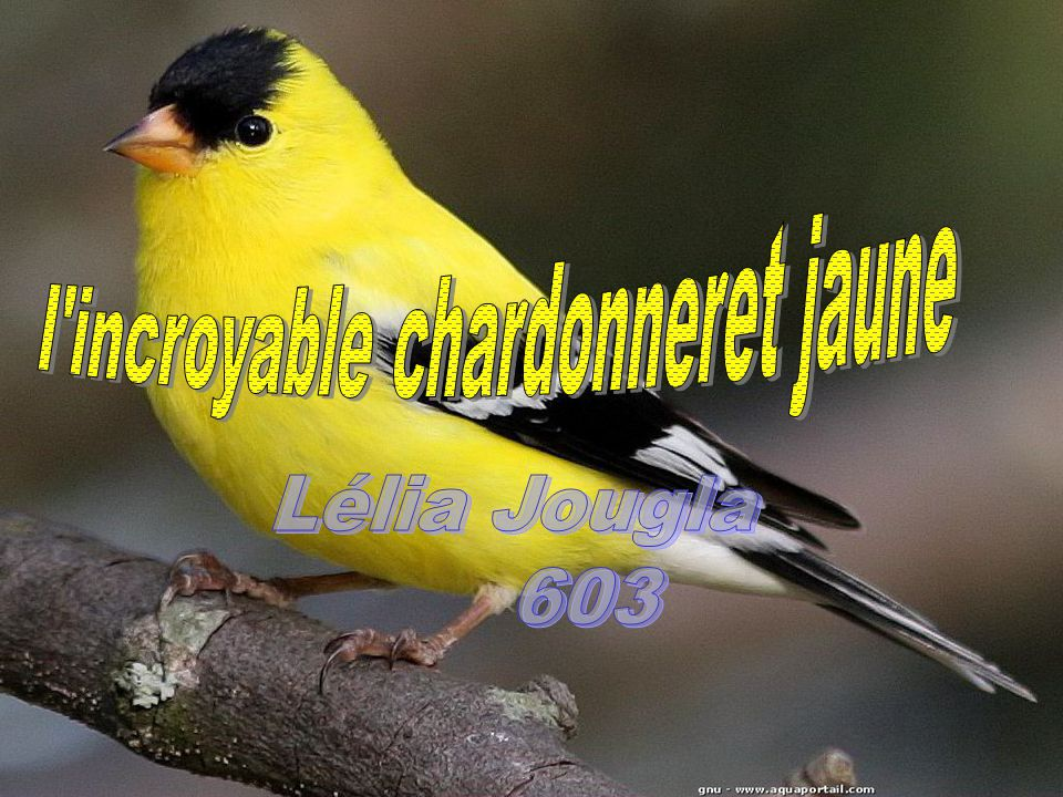 l incroyable chardonneret jaune