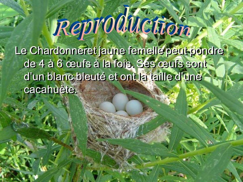 Reproduction Le Chardonneret jaune femelle peut pondre de 4 à 6 œufs à la fois.