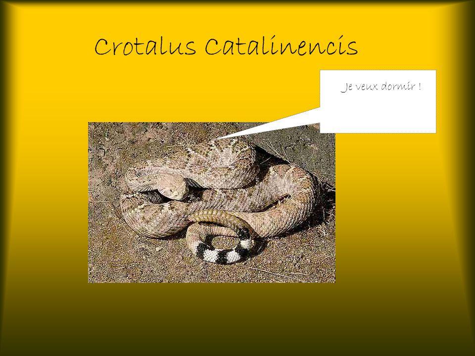 Crotalus Catalinencis