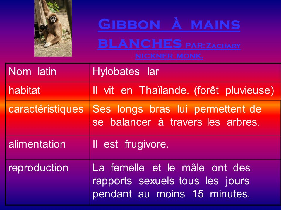 Gibbon à mains blanches PAR: Zachary NICKNER MONK.