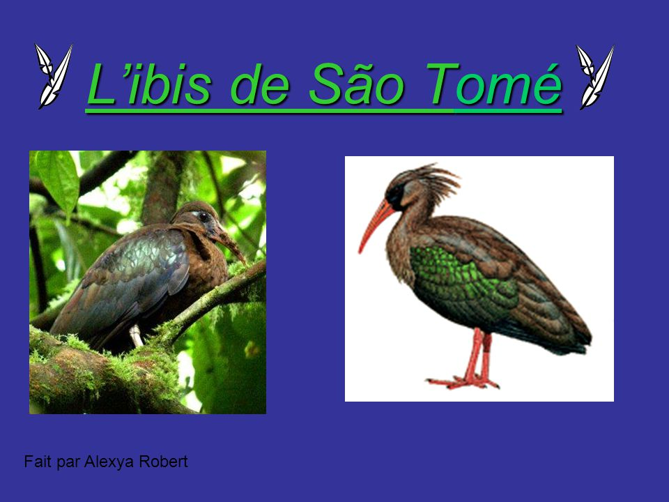 L'ibis de São Tomé Fait par Alexya Robert